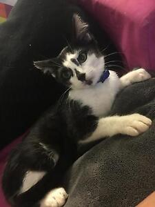 FREE male kitten. Bohle Townsville City Preview