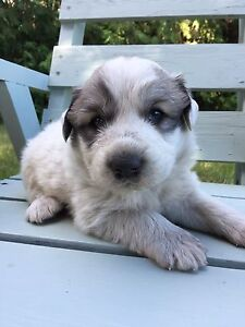 Purebred Great Pyrenees male