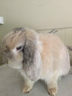 Rabbit lost in Hurlstone Park Hurlstone Park Canterbury Area Preview