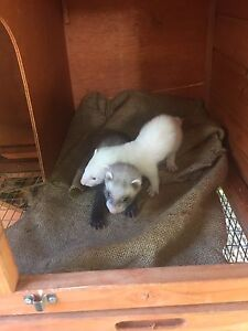 Ferret kits Adelaide CBD Adelaide City Preview