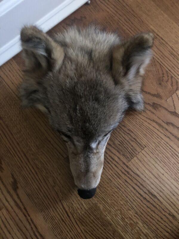 coywolf/coyote (?) taxidermy