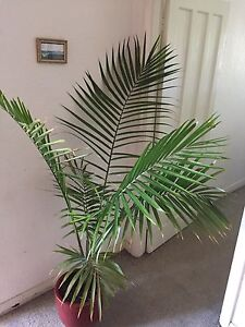Large Palm Tree in red ceramic pot Bar Beach Newcastle Area Preview