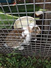 Male rabbits Greenacre Bankstown Area Preview