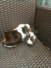 Handsome and cute curly hair male Guinea pigs West Ryde Ryde Area Preview