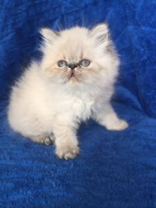 PURE BREED FLAT FACE HIMALAYANS KITTENS