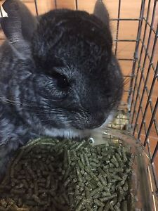 Six months old chinchilla Chubby babe for sale