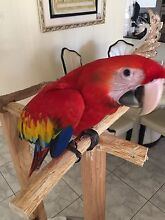 Hand raised scarlet macaw Bonnyrigg Heights Fairfield Area Preview