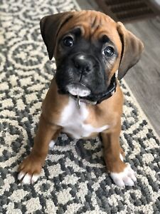 ❤️ Beautiful Purebred Boxer Puppy