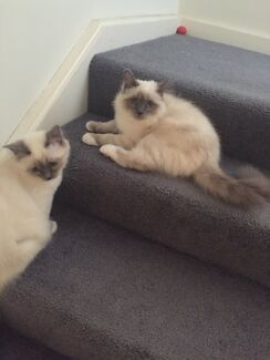 2 x Birman kittens 17 week old female and male  Epping Whittlesea Area Preview