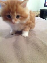 Free Kittens Point Cook Wyndham Area Preview