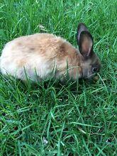 Bunnies $20 each need gone asap won't last long Greenacre Bankstown Area Preview
