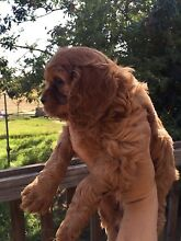 Cavalier King Charles Puppy Orchard Hills Penrith Area Preview