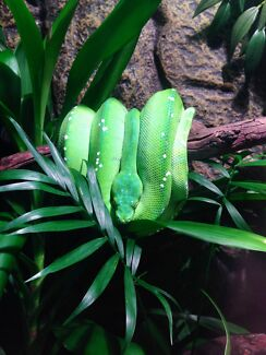 Sorong Green Tree Python (Male) Greenvale Hume Area Preview