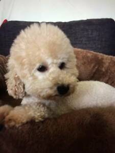Purebred toy poodle female for sale Parramatta Parramatta Area Preview