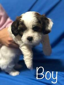 Beautiful Maltese Shih Tzu x Poodle x King Charles Cavalier Puppy