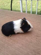 GUINEA PIG BABY BOY WHITE/BROWN/BLACK Padstow Heights Bankstown Area Preview