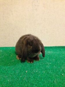 Tiny Mini lop Baby Bunnies Munno Para West Playford Area Preview