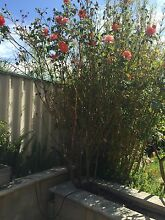 Large Rose plants x 9 Tapping Wanneroo Area Preview