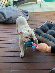 Bulldog free to good home | Dogs & Puppies | Gumtree Australia Gold