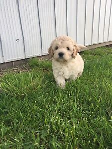 Male Cockapoo Puppy Available