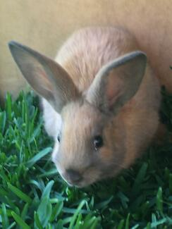 Cute baby rabbits at Burwood $15 each Burwood Burwood Area Preview