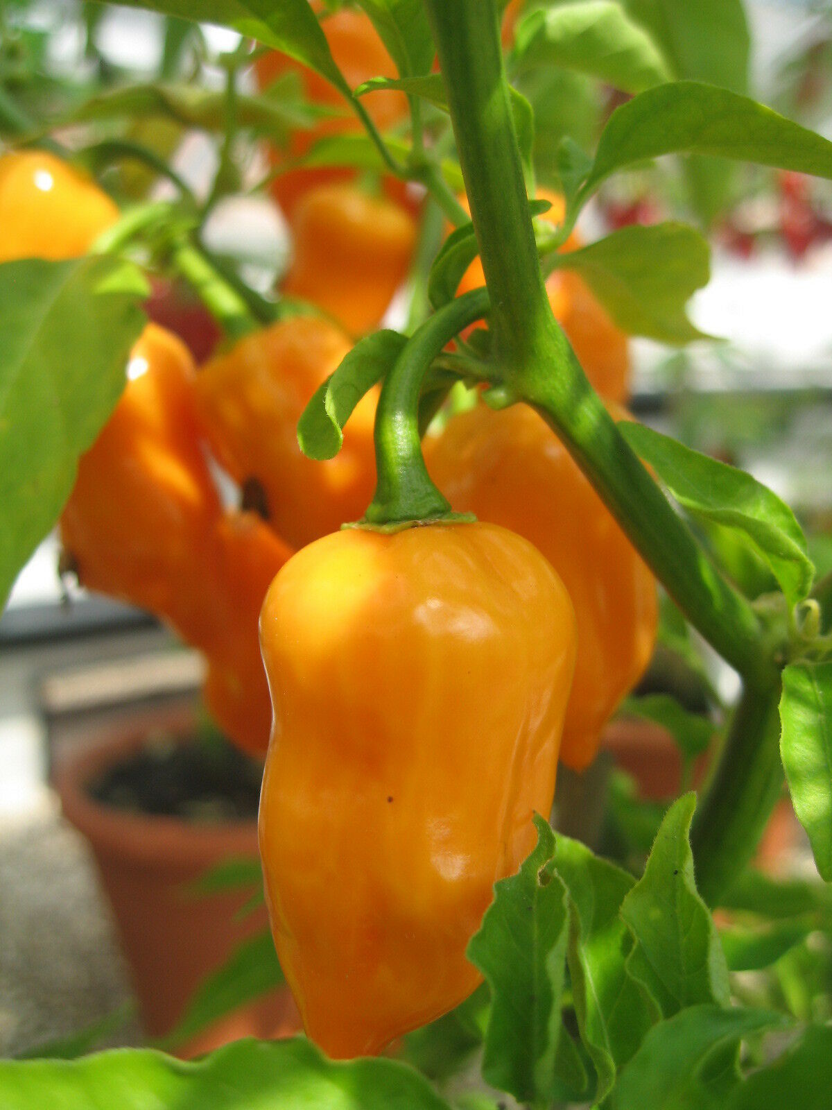 Picture Packet  Chilli Pepper Habanero Orange 50 Seeds Vegetable Kings Seeds