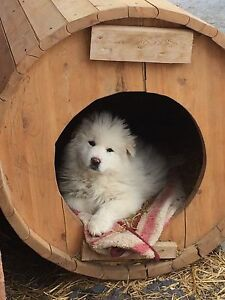 Great Pyrenees/Maremma pups for sale