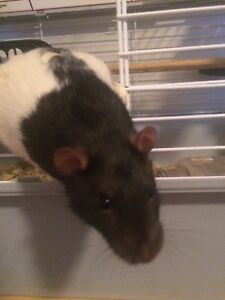Rats4Sale As Pets or Feeders