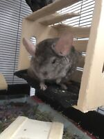 Sold  Two bonded male chinchillas looking for a home.