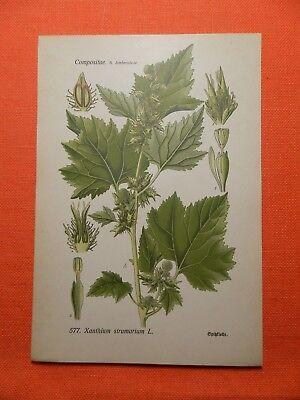 Gewöhnliche Spitzklette Xanthium strumarium Gift Medizin THOME Lithographie 1890 ()