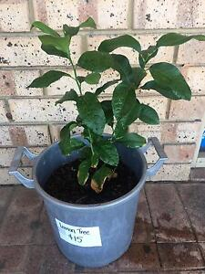 Lemon tree Maylands Bayswater Area Preview