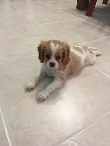 Cavalier King Charles Puppies Ipswich Ipswich City Preview