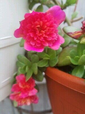 Magenta Color Blast Purslane Portulaca Fairy Tale Double Flowers Fresh Cuttings