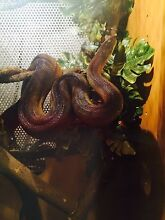 Adult Water Python & Enclosure Bonnyrigg Heights Fairfield Area Preview