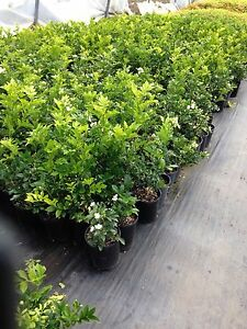 HEDGE PLANTS BUXUS ,MURRAYAS , GARDENIAS, and.... Leppington Camden Area Preview