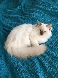 Pedigree Ragdoll kitten Desexed Bendigo Bendigo City Preview