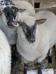 7 Lambs - wethers Merino x Suffolk July 2019 drop