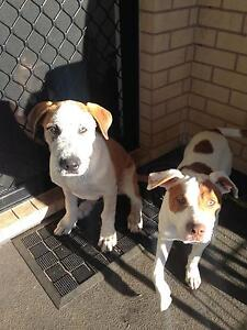 2 PUPPIES FREE TO GOOD HOME Cessnock Cessnock Area Preview