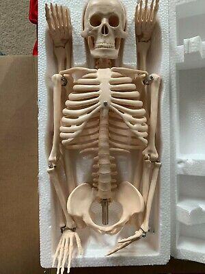 New Human Skeleton Model 85 Cm Anatomy