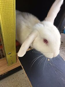 two months bunny rabbit Lurnea Liverpool Area Preview
