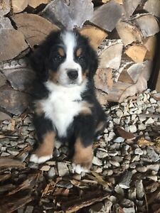 Beautiful Bernese Mountain Dog Puppy SOLD