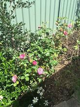 Rose bush - Plants Narellan Vale Camden Area Preview