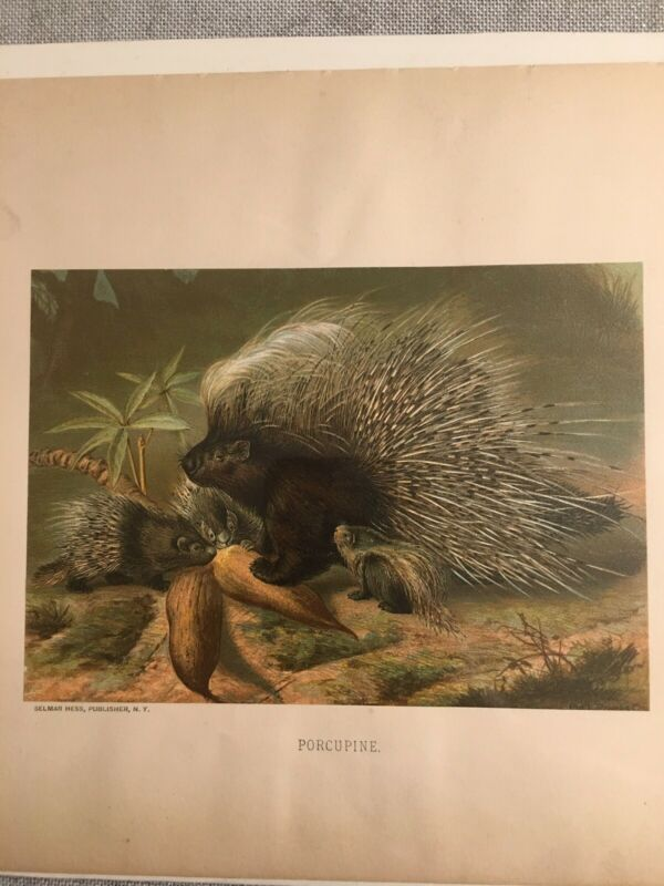 """Authentic 1800's Color Engraving """"Porcupine"""" Selma Hess! Professionally Sealed"""