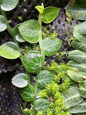 Rhaphidophora Cryptantha. Cutting. Terrarium Grown.
