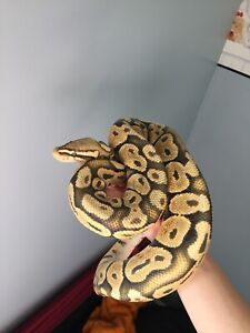 Ball Python need a new owner