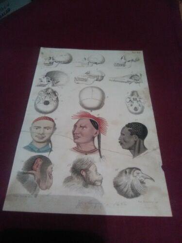 Evolution Antique Zoology Engraving (1846) Charles Darwin Era (9 Skulls) African