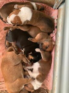 Puppies for sale ready to be homes Saturday 6th April