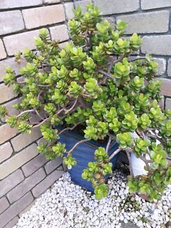 Large jade plant in pot Old Beach Brighton Area Preview