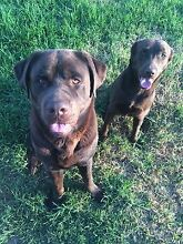 2x Chocolate Labradors (pair) Aberglasslyn Maitland Area Preview