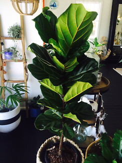 FIDDLE LEAF FIG (HOT SALE) INDOOR PLANT SALE